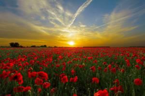 Rode bloemen met zonsondergang