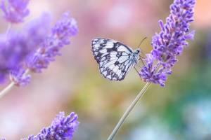 Vlinder met lavendel tuindoek
