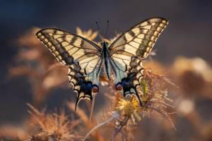 Papilio machaon vlinder tuindoek