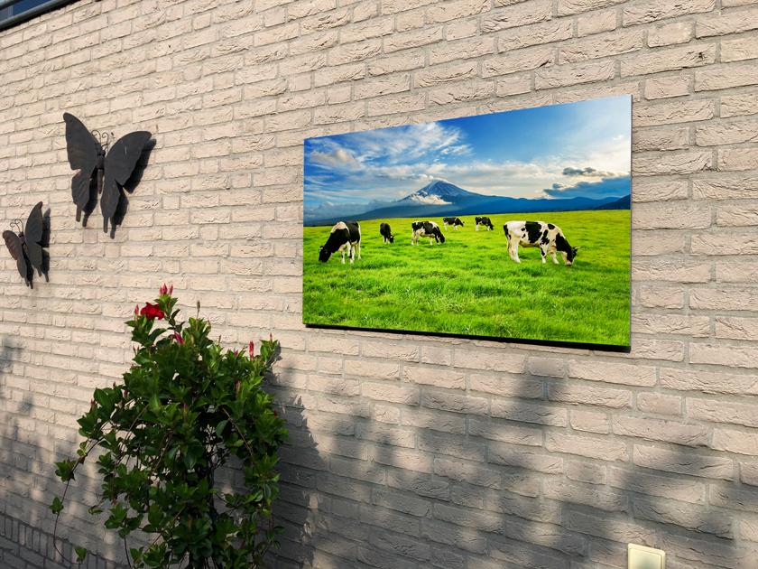 cows-eating-lush-grass-green-field-front-fuji-mountain-japan